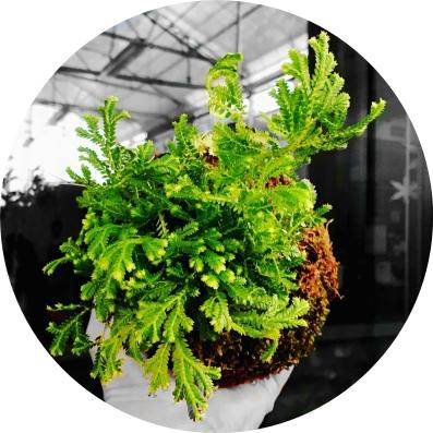 global-gardens-selaginella-emmeliana-web