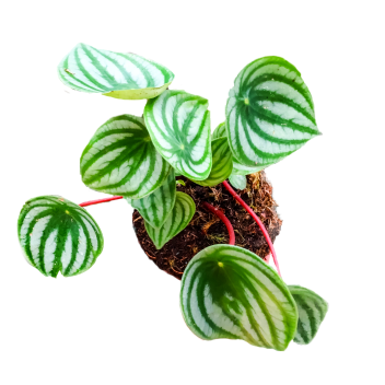 Global Gardens watermelon peperomia round-crop.png